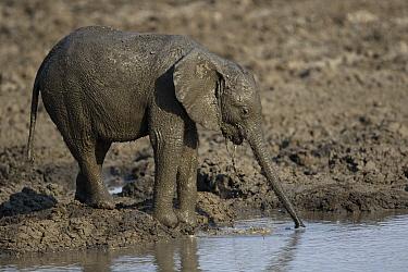 African Elephant (Loxodonta africana) calf covered with mud drinking at waterhole, Mana Pools National Park, Zimbabwe
