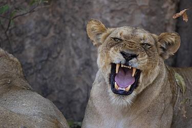 African Lion (Panthera leo) female snarling, Mana Pools National Park, Zimbabwe