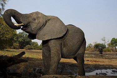 African Elephant (Loxodonta africana) drinking at waterhole, Mana Pools National Park, Zimbabwe