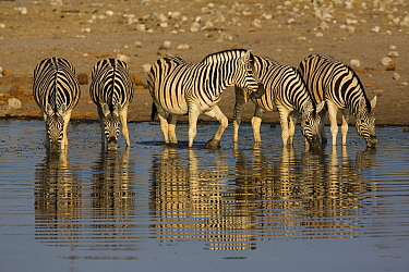 Burchell's Zebra (Equus burchellii) herd drinking at waterhole, Etosha National Park, Namibia