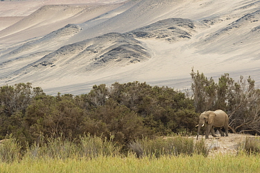 African Elephant (Loxodonta africana) in desert, Kaokoland, Namibia