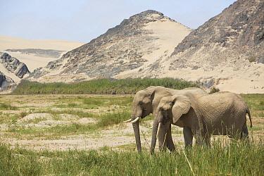 African Elephant (Loxodonta africana) pair in desert, Kaokoland, Namibia