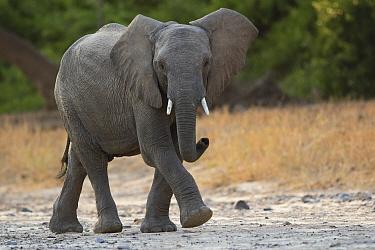 African Elephant (Loxodonta africana), Kaokoland, Namibia