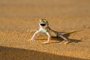 Anchieta's Desert Lizard (Meroles anchietae) in defensive threat display, Dorob National Park, Namibia
