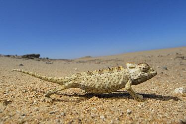 Namaqua Chameleon (Chamaeleo namaquensis) in desert, Dorob National Park, Namibia