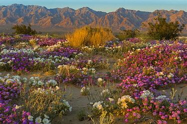 Desert Sand Verbena (Abronia villosa) and Dune Evening Primrose (Oenothera deltoides) in desert, Mojave Desert, California