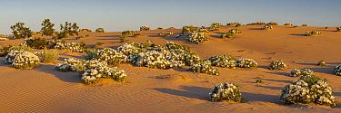 Dune Evening Primrose (Oenothera deltoides) in desert, Mojave Desert, California