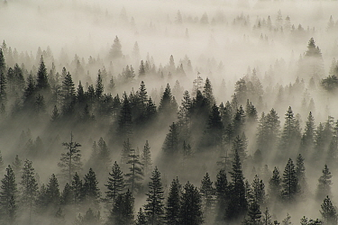 Coniferous trees in mist, Yosemite National Park, California