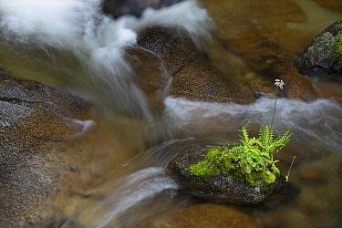 Flower on rock in stream, Yosemite National Park, California