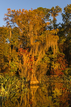 Bald Cypress (Taxodium distichum) tree covered with Spanish Moss (Tillandsia usneoides) on the edge of pond, Osceola National Forest, Florida