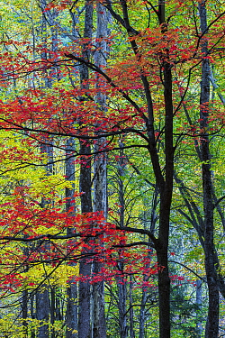 Red Maple (Acer rubrum) in fall, Great Smoky Mountains National Park, Tennessee