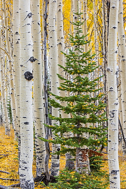 Quaking Aspen (Populus tremuloides) and fir tree in fall, Grand Staircase-Escalante National Monument, Utah