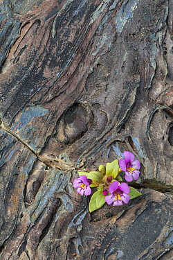 Dwarf Purple Monkeyflower (Mimulus nanus) flowers in old lava, Craters of the Moon National Monument, Idaho