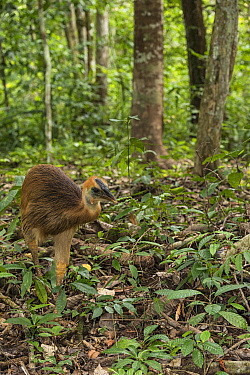 Southern Cassowary (Casuarius casuarius) chick in forest, Biak Island, West Papua, Indonesia