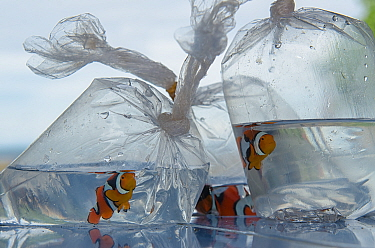 Blackfinned Clownfish (Amphiprion percula) bagged for pet trade, Biak Island, West Papua, Indonesia
