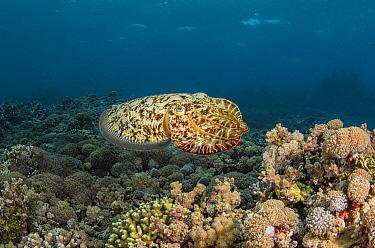 Broadclub Cuttlefish (Sepia latimanus) in reef, Cenderawasih Bay, West Papua, Indonesia