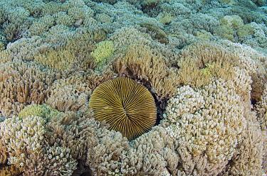 Mushroom Coral (Fungiidae) and Soft Coral (Xenia sp), Cenderawasih Bay, West Papua, Indonesia