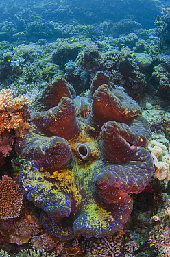 Giant Clam (Tridacna gigas), Cenderawasih Bay, West Papua, Indonesia