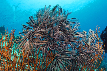 Feather Star (Oxycomanthus bennetti) group, Cenderawasih Bay, West Papua, Indonesia