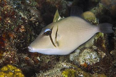 Boomerang Triggerfish (Sufflamen bursa), Cenderawasih Bay, West Papua, Indonesia