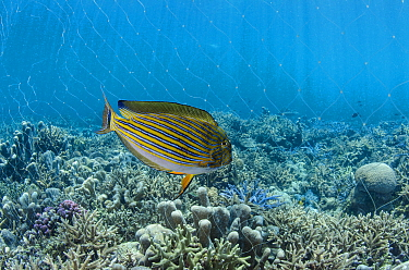 Striped Surgeonfish (Acanthurus lineatus) near net of fisherman, Half Island, Cenderawasih Bay, West Papua, Indonesia