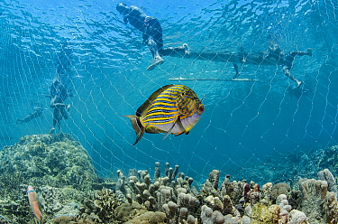Striped Surgeonfish (Acanthurus lineatus) caught in net of fisherman, Half Island, Cenderawasih Bay, West Papua, Indonesia