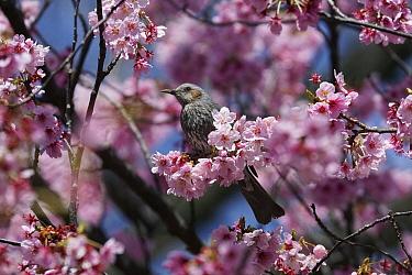 Brown-eared Bulbul (Microscelis amaurotis) in spring, Japan