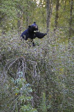 Black Bear (Ursus americanus) feeding on Black Hawthorn (Crataegus douglasii) berries, Glacier National Park, Montana