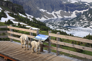 Mountain Goat (Oreamnos americanus) nanny and yearling on platform, Glacier National Park, Montana