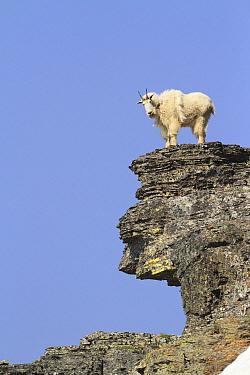 Mountain Goat (Oreamnos americanus) on rocks, Glacier National Park, Montana