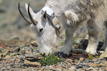 Mountain Goat (Oreamnos americanus) collared nanny grazing on Snow Cinquefoil (Potentilla nivea), Glacier National Park, Montana