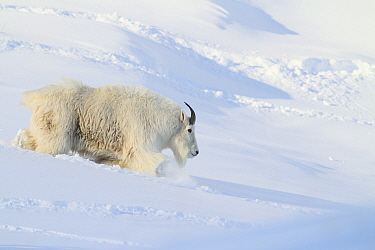 Mountain Goat (Oreamnos americanus) billy in winter, Glacier National Park, Montana