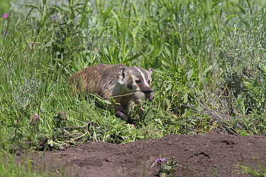 American Badger (Taxidea taxus) female with Uinta Ground Squirrel (Spermophilus armatus), Yellowstone National Park, Wyoming