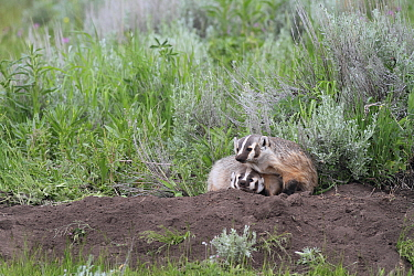 American Badger (Taxidea taxus) mother and kid at den, Yellowstone National Park, Wyoming