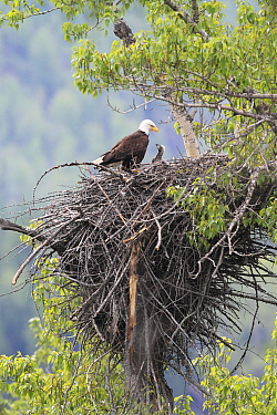 Bald Eagle (Haliaeetus leucocephalus) parent with three week old chick, Glacier National Park, Montana