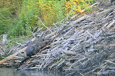 American Beaver (Castor canadensis) carrying stick for lodge, Glacier National Park, Montana