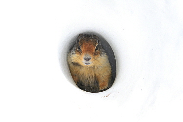 Columbian Ground Squirrel (Spermophilus columbianus) at entrance of snow tunnel, Glacier National Park, Montana