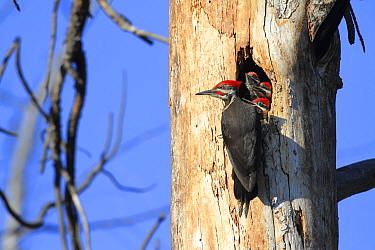 Pileated Woodpecker (Dryocopus pileatus) with chicks at nest cavity, Glacier National Park, Montana