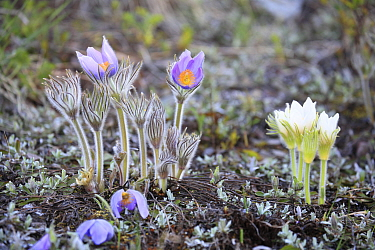 American Pasqueflower (Anemone patens) flowers, Glacier National Park, Montana