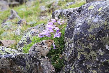 American Pika (Ochotona princeps) feeding on Shrubby Penstemon (Penstemon fruticosus) flowers, Glacier National Park, Montana