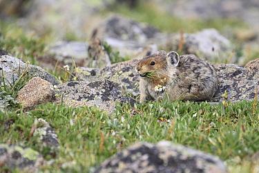 American Pika (Ochotona princeps) feeding on grass, Glacier National Park, Montana