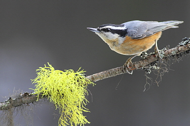 Red-breasted Nuthatch (Sitta canadensis), Montana