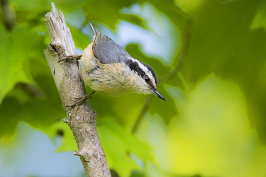 Red-breasted Nuthatch (Sitta canadensis), Maine
