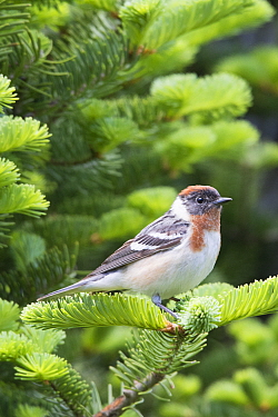 Bay-breasted Warbler (Setophaga castanea) male, Maine