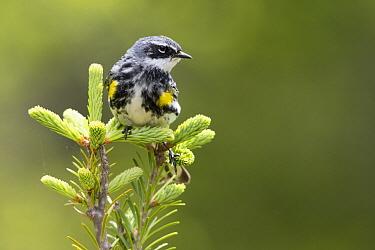 Yellow-rumped Warbler (Setophaga coronata) male, Maine