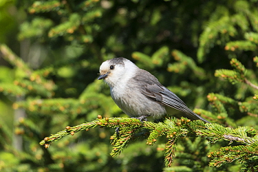 Canada Jay (Perisoreus canadensis), Maine