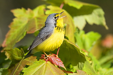 Canada Warbler (Cardellina canadensis) male calling, Maine