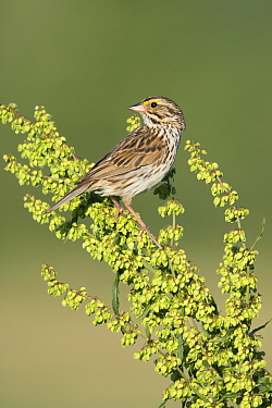 Savannah Sparrow (Passerculus sandwichensis), Maine