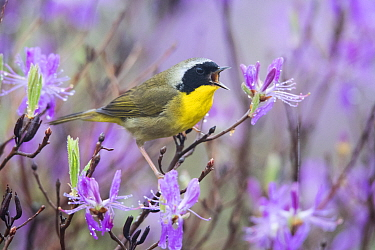Common Yellowthroat (Geothlypis trichas) male calling, Maine