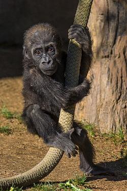 Western Lowland Gorilla (Gorilla gorilla gorilla) baby swinging on rope, San Diego Zoo, California